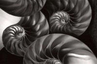 Still Life Photograph of Nautilus Shells