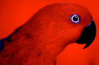 Photograph of Red Bird with Blue Eye